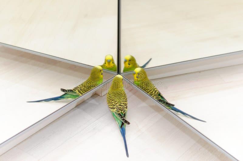 Regard de perruche dans le miroir sur beaucoup de for Regard dans le miroir