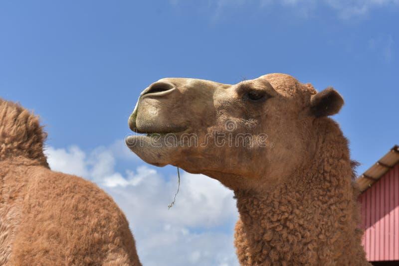 Regard de stupéfaction à un chameau de dromadaire dans Aruba image libre de droits