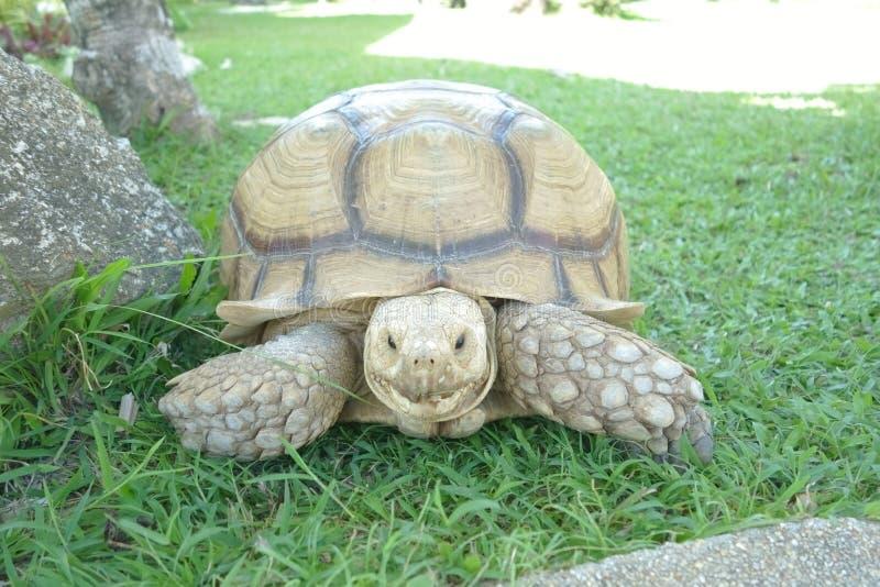 Regard de tortue géante au fond d'appareil-photo image libre de droits