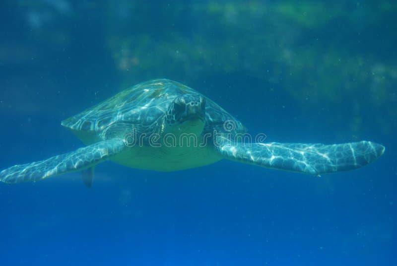 Regard fantastique à la tortue de mer nageant sous l'eau photo libre de droits