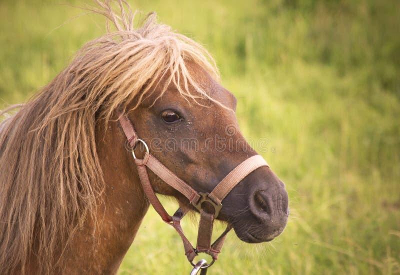 Regard femelle de poney (caballus de ferus d'Equus) effrayé photographie stock