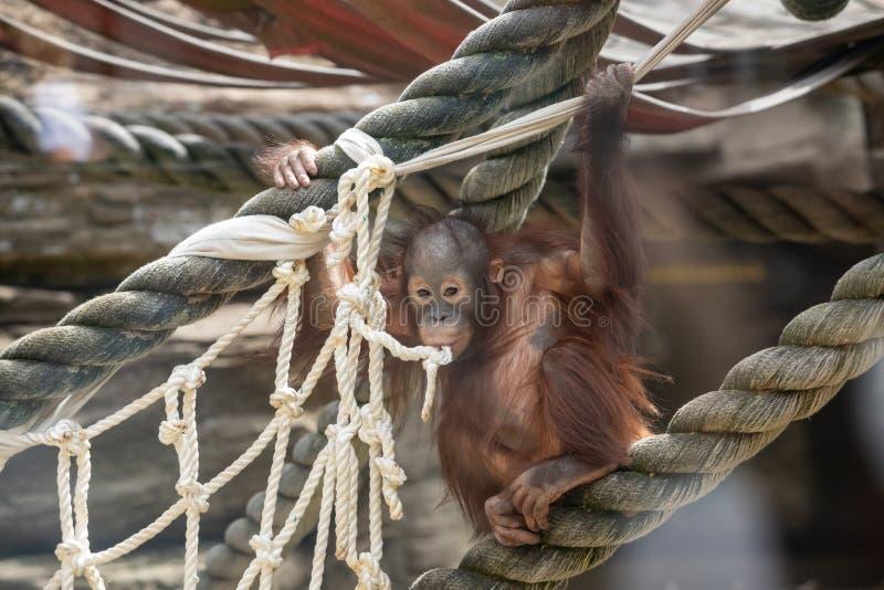 Regard fixe d'un b?b? d'orang-outan, accrochant sur la corde ?paisse Une petite grande singe va ?tre un m?le alpha Petit animal s photos stock