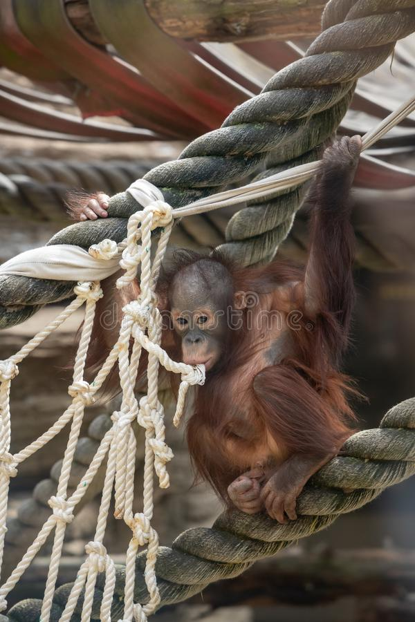 Regard fixe d'un b?b? d'orang-outan, accrochant sur la corde ?paisse Une petite grande singe va ?tre un m?le alpha Petit animal s image libre de droits