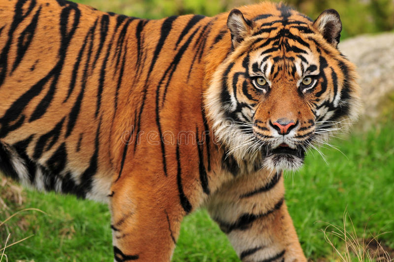 Regard fixe d'un tigre photographie stock libre de droits