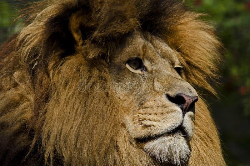Regard Fixe De Lion Images stock