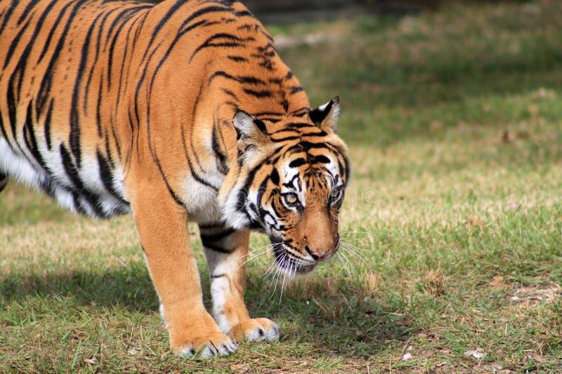Regard fixe intense de tigre photo libre de droits