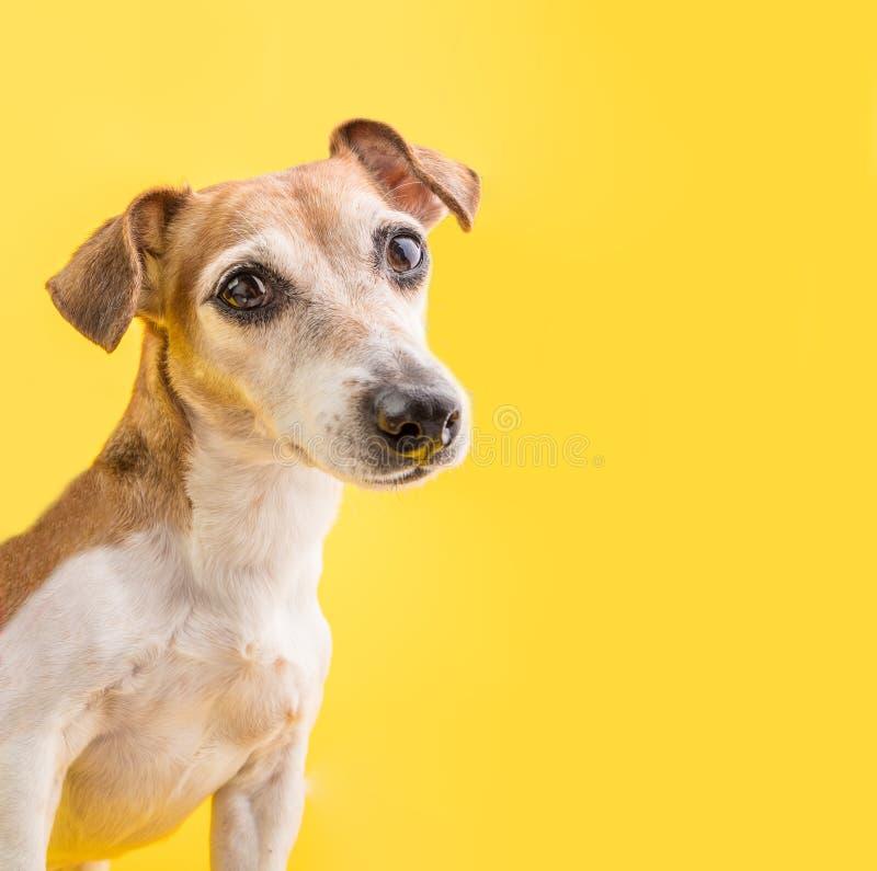 Regard futé de yeux de chien Portrait stupéfiant de chien sur le fond jaune Visage mignon d'animal familier photo stock