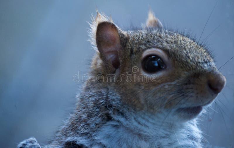 Regard haut étroit d'écureuil droit photographie stock