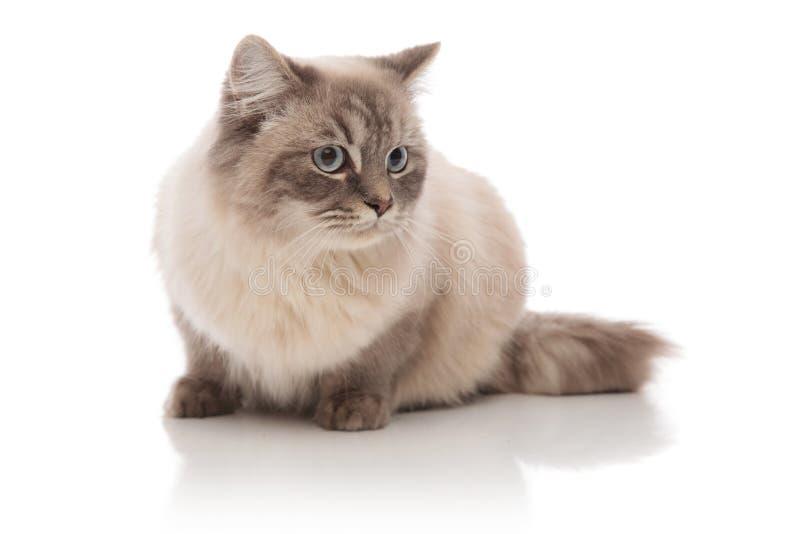 Regard menteur de chat poilu gris au côté photos libres de droits