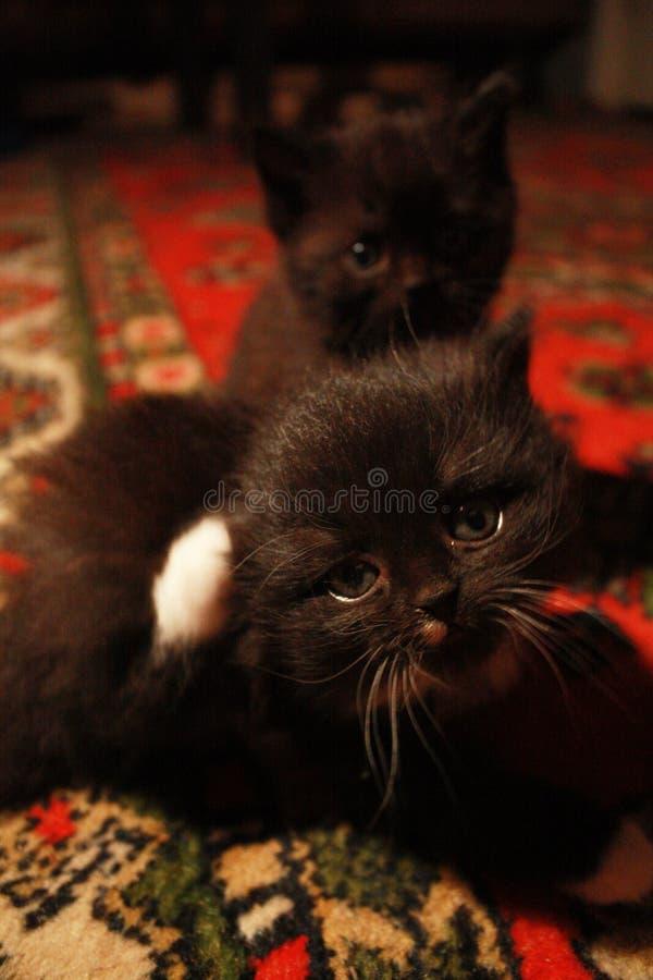regard mystérieux d'un chaton image stock
