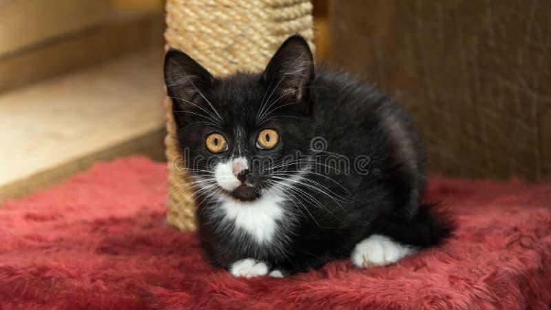 Regard pelucheux de chaton photographie stock libre de droits