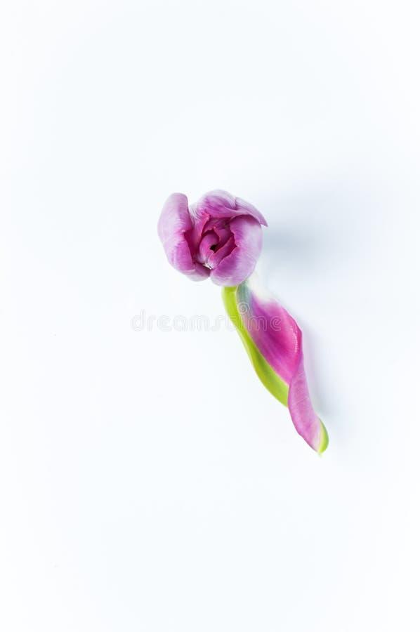 Regard vers le bas sur une tête rose simple de tulipe avec un pétales tombés  photographie stock
