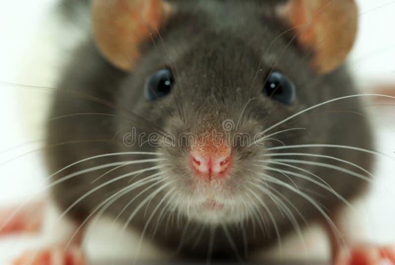 regarde le rat vous photographie stock