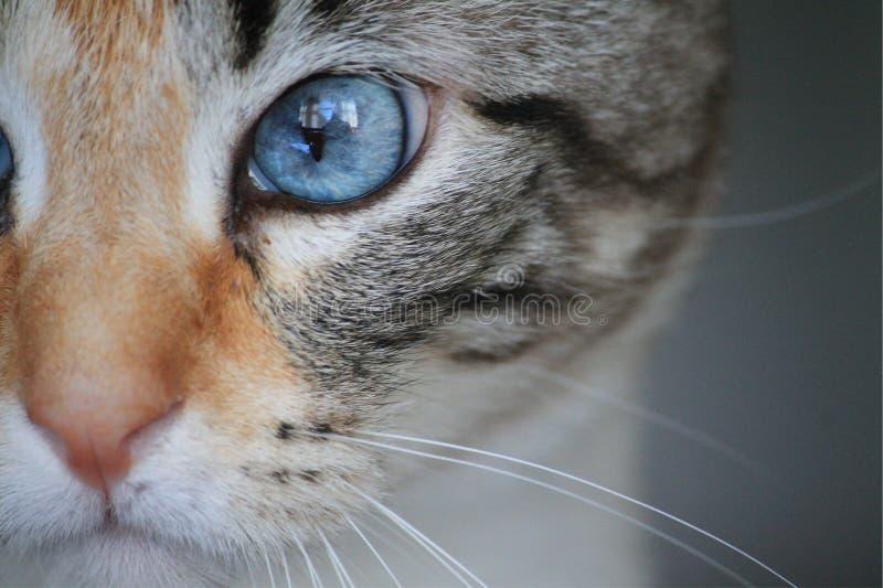 Regarder bleu d'oeil de chaton images libres de droits