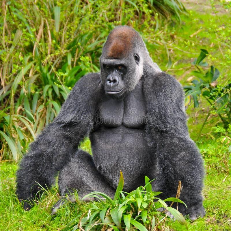 Regarder de gorille images libres de droits