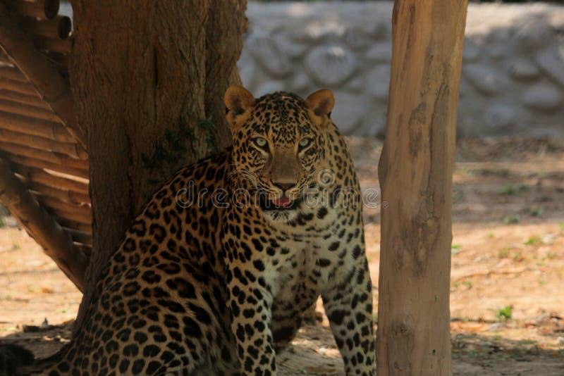 Regarder de léopard photographie stock libre de droits