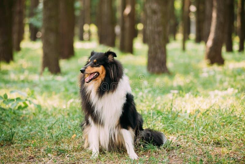 Regarder fixement à l'appareil-photo Collie Lassie aux cheveux longs rugueuse écossaise tricolore image libre de droits