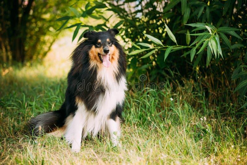 Regarder fixement à l'appareil-photo Collie Lassie aux cheveux longs rugueuse écossaise tricolore photos libres de droits