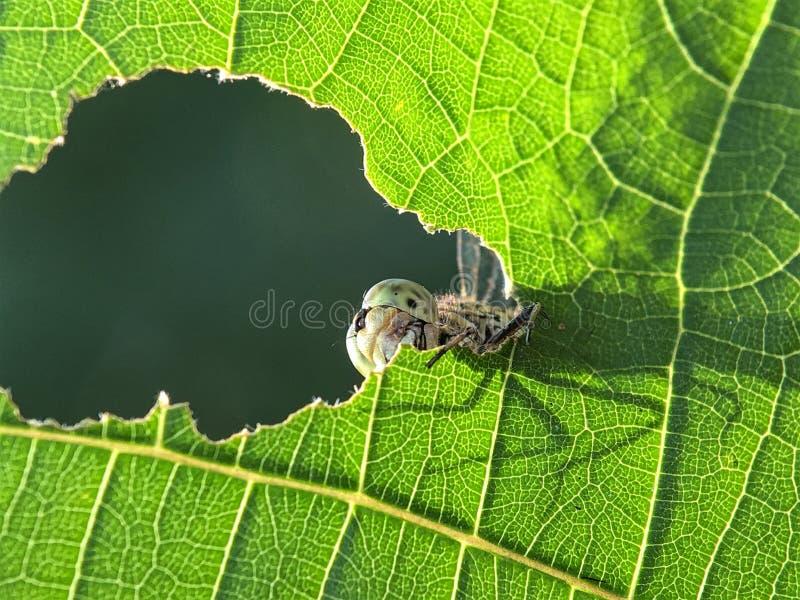 Regarder la libellule un trou photo stock