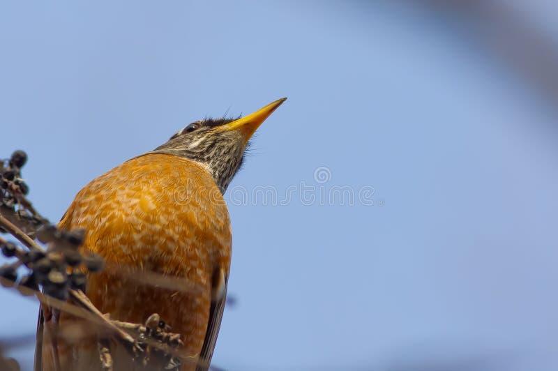 Regarder le dessous d'un merle - plan rapproché de coffre, de cou, et de bec oranges - pris près de la rivière du Minnesota au Mi photos stock