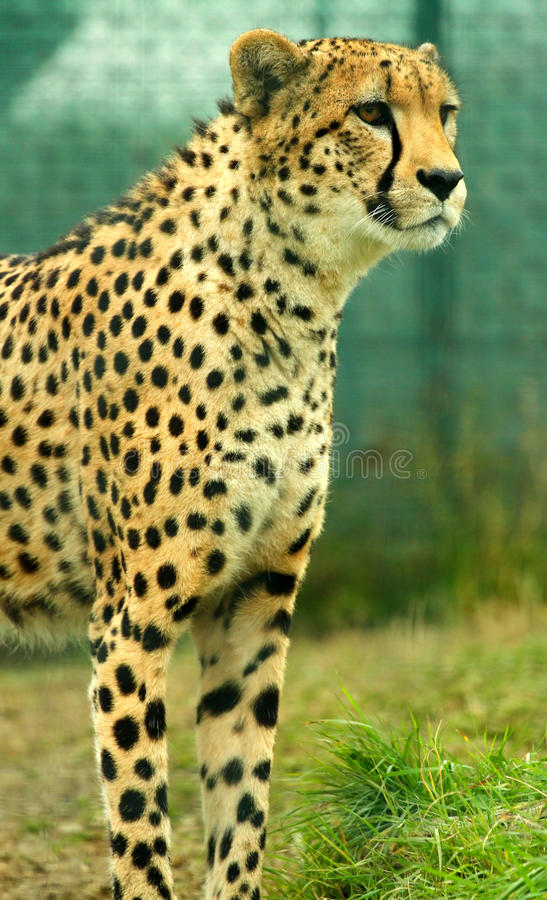 Regarder le guépard fixement image stock