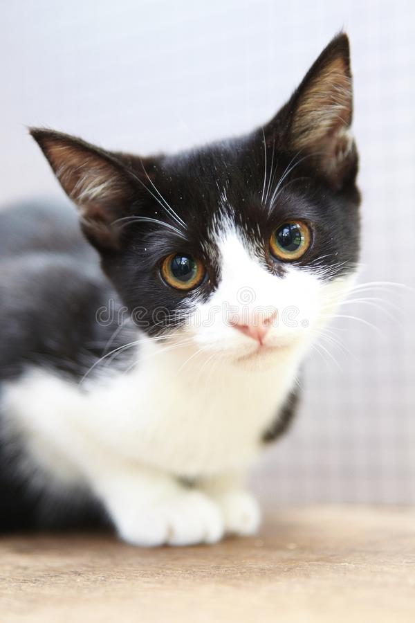 Regarder noir et blanc de chaton photos stock