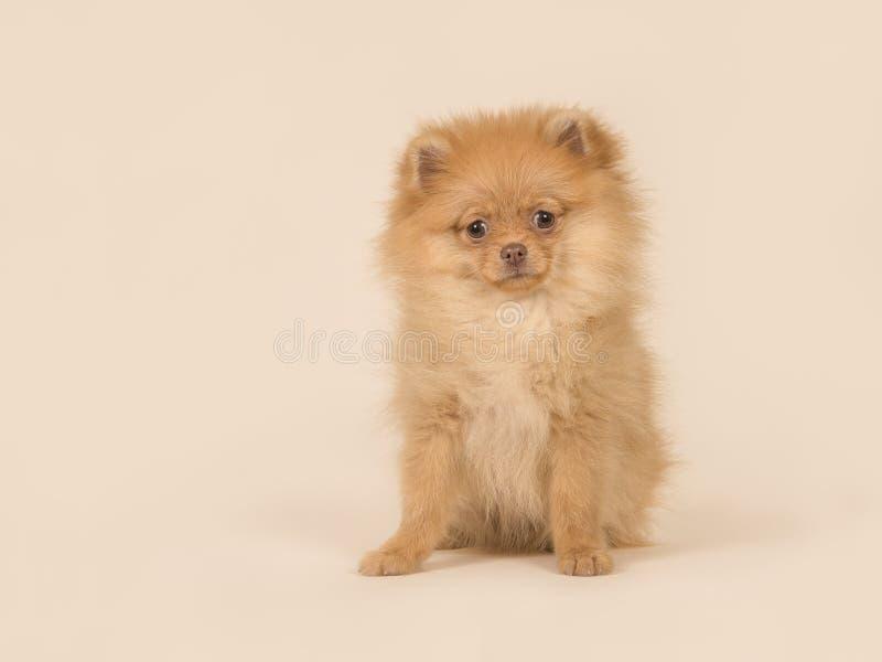 Regarder se reposant de mini chiot pomeranian mignon de spitz est venu photos stock