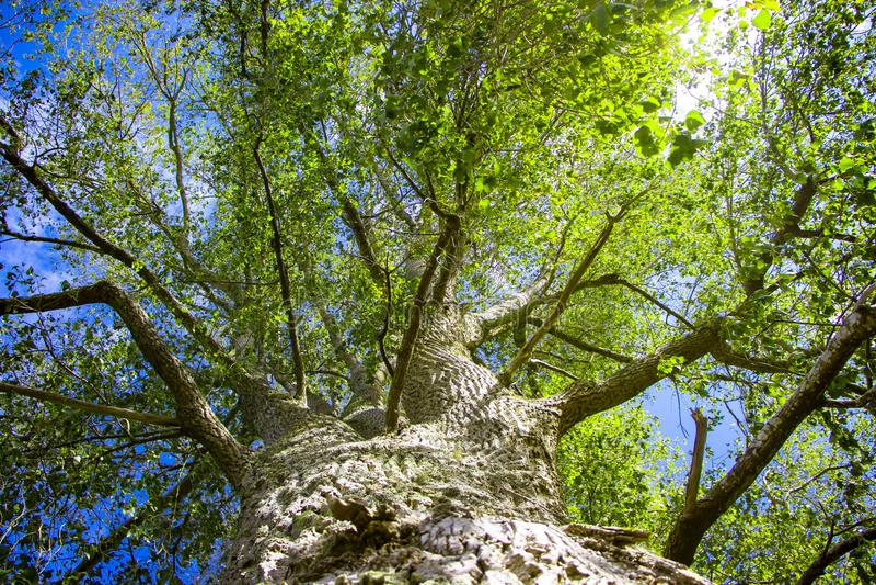 Regarder un tronc d'arbre les feuilles vertes et le ciel bleu un jour ensoleillé images libres de droits
