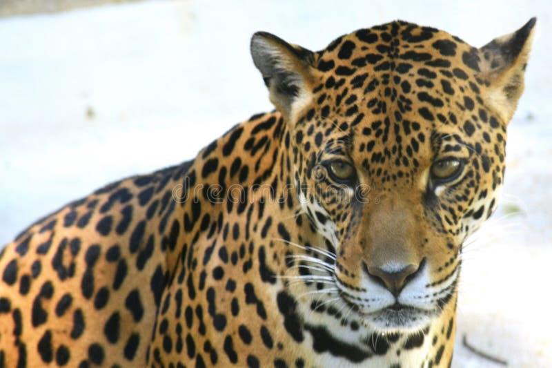 Regardez du jaguar images libres de droits
