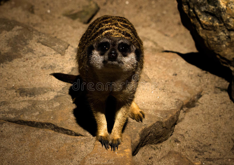 Regardez du meerkat photos stock