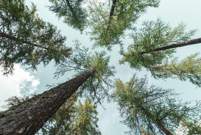 Regardez la forme ci-dessous d'arbres en montagne - vert de texture de fond photo libre de droits