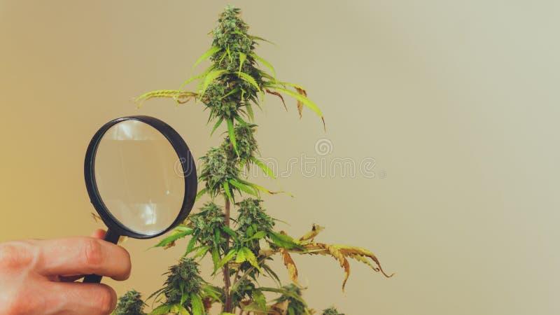 Regardez les bourgeons médicaux de marijuana avec la loupe Récolte fraîche d'usine de cannabis s'élevant à l'intérieur photos stock