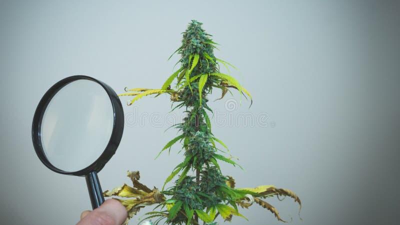 Regardez les bourgeons médicaux de marijuana avec la loupe Récolte fraîche d'usine de cannabis s'élevant à l'intérieur images libres de droits