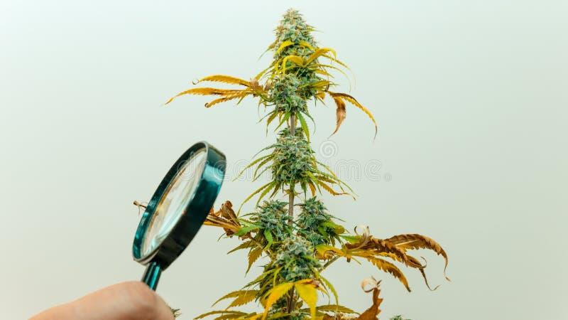 Regardez les bourgeons médicaux de marijuana avec la loupe Récolte fraîche d'usine de cannabis s'élevant à l'intérieur image stock