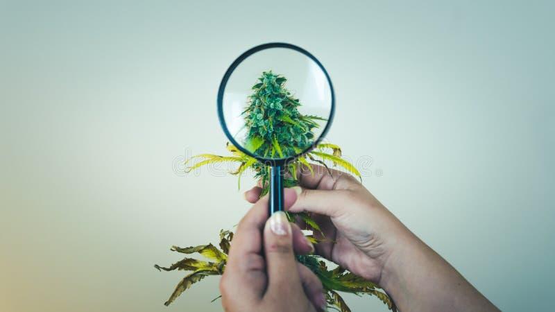 Regardez les bourgeons médicaux de marijuana avec la loupe Récolte fraîche d'usine de cannabis s'élevant à l'intérieur photographie stock libre de droits