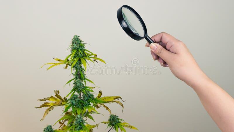 Regardez les bourgeons médicaux de marijuana avec la loupe Récolte fraîche d'usine de cannabis s'élevant à l'intérieur photos libres de droits