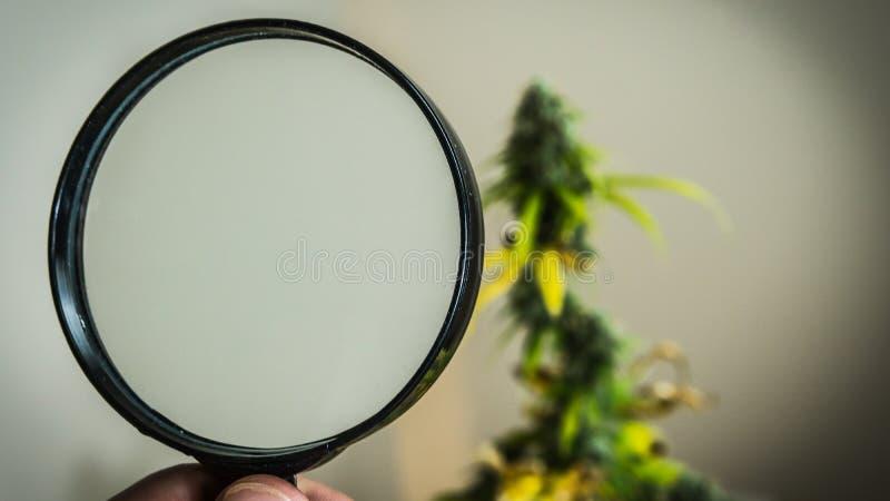 Regardez les bourgeons médicaux de marijuana avec la loupe Récolte fraîche d'usine de cannabis s'élevant à l'intérieur images stock