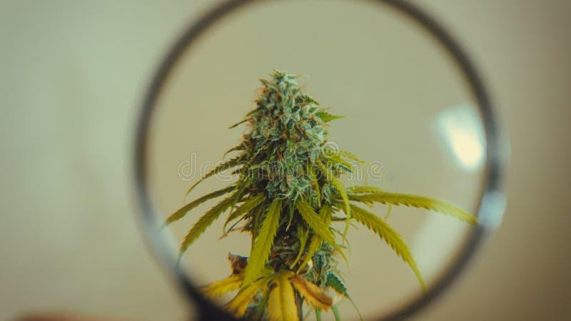 Regardez les bourgeons médicaux de marijuana avec la loupe Récolte fraîche d'usine de cannabis s'élevant à l'intérieur photographie stock