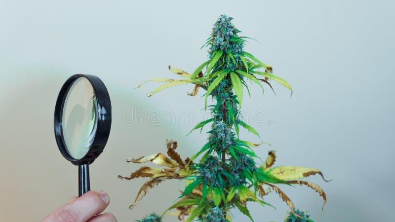 Regardez les bourgeons médicaux de marijuana avec la loupe Récolte fraîche d'usine de cannabis s'élevant à l'intérieur image libre de droits