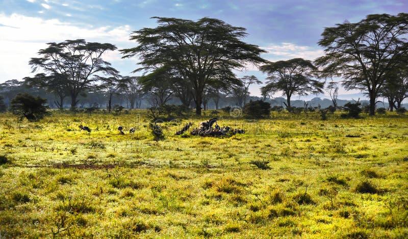 Regardez un groupe de vautours en Afrique sur le safari images stock