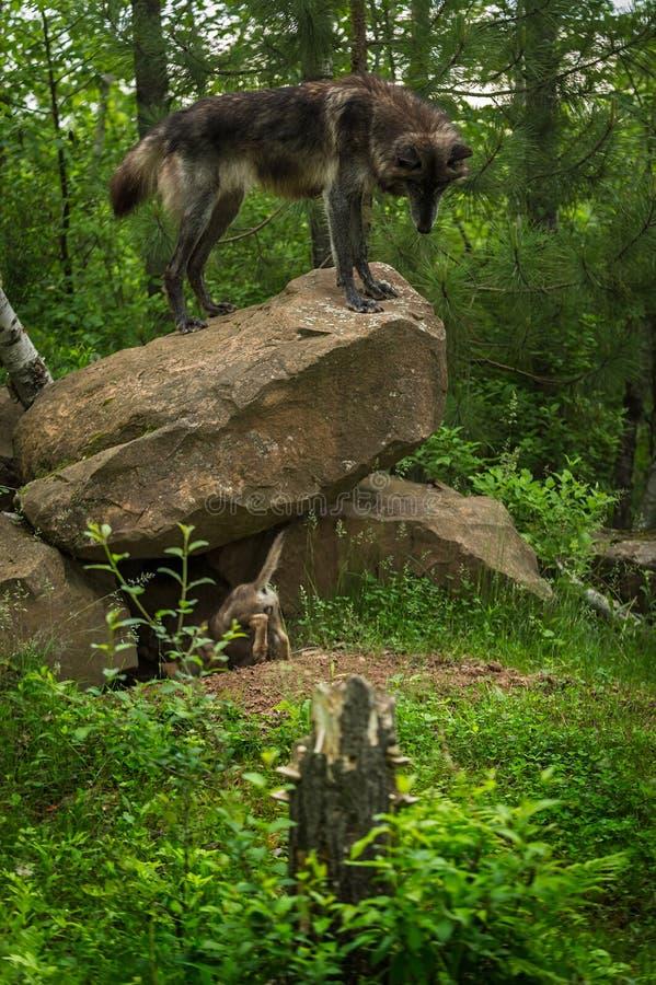 Regards de lupus de Grey Wolf Canis de Noir-phase vers le bas de roche image libre de droits