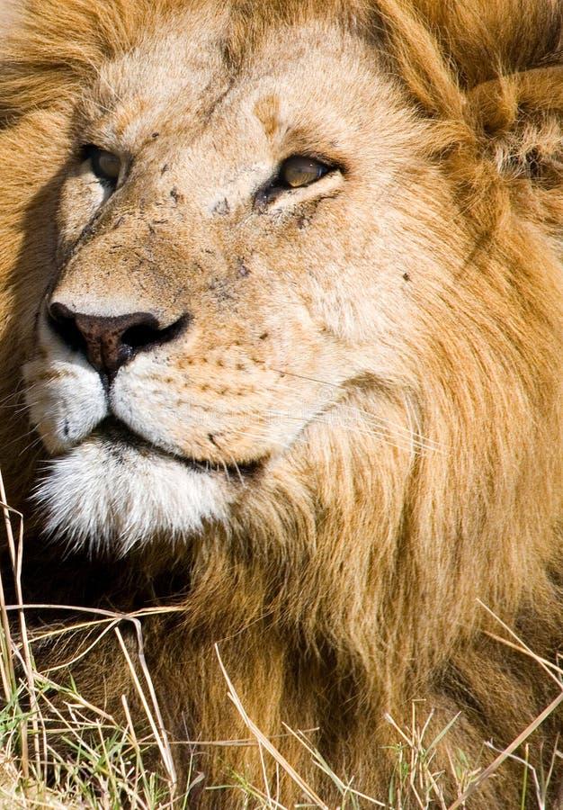 Regards fixes de lion photo stock