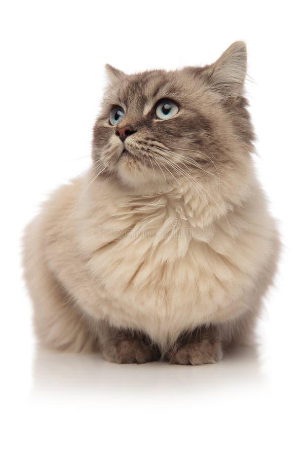 Regards menteur de chat poilu gris au côté dans la crainte photos stock