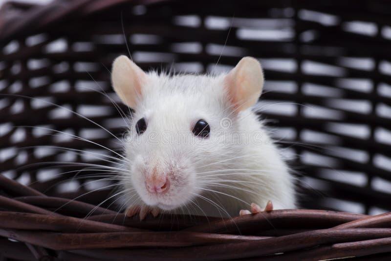 Regards mignons de rat photo stock