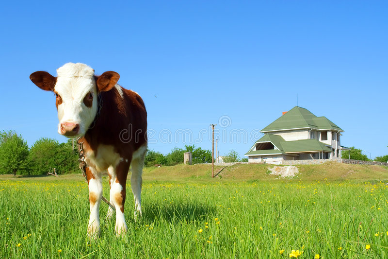 Regards mignons de taureau-veau photo stock
