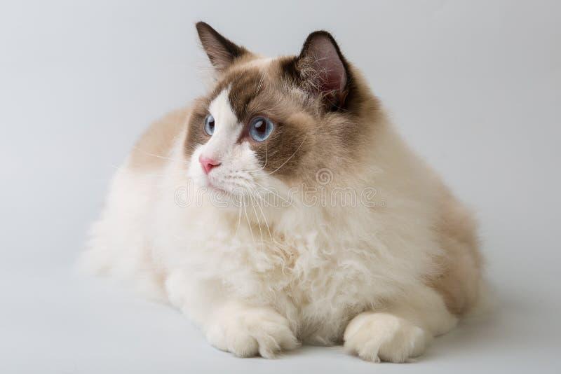 Regdoll męski kot kłama patrzeć z lewej strony zdjęcia royalty free