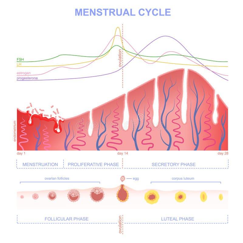 Regeling van de menstruele cyclus stock illustratie
