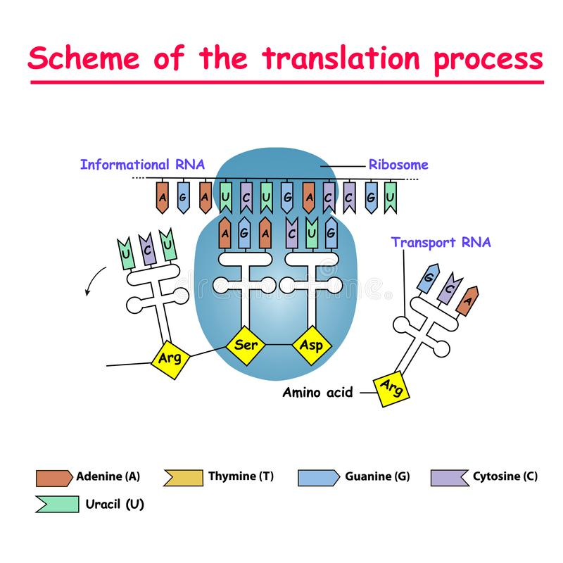 Regeling van het vertaalproces syntesis van mRNA van DNA in de kern Het mRNA decoderende ribosoom door band van complementa royalty-vrije illustratie