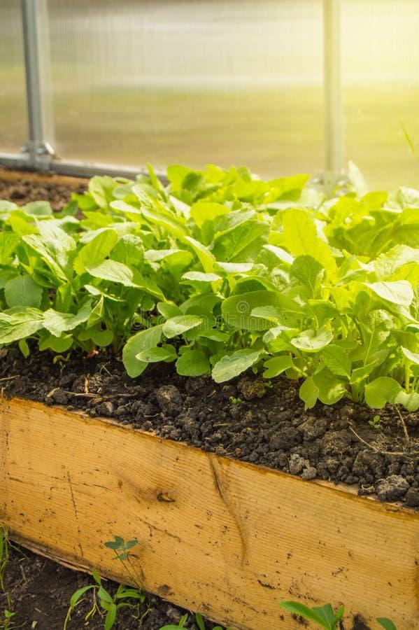 Regels om vroege radijzen in een serre te kweken Bedden van sappige jonge radijs voor groter gebruik van vitaminen, verticaal sch royalty-vrije stock afbeelding