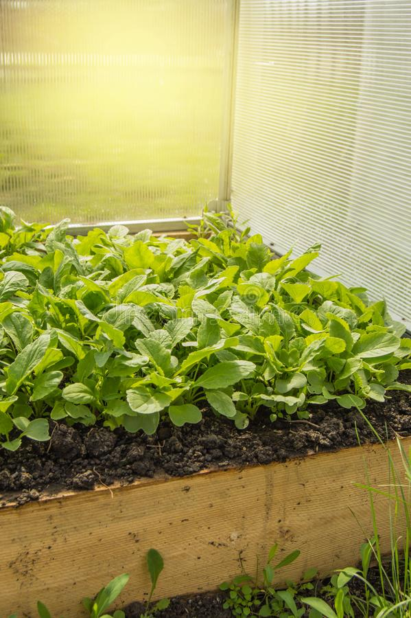 Regels om vroege radijzen in een serre te kweken Bedden van sappige jonge radijs voor groter gebruik van vitaminen, verticaal sch stock foto's